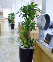 Những loại cây dùng để tặng nhân dịp khai trương